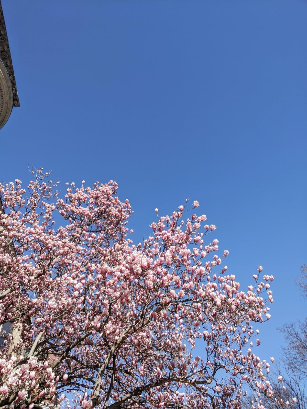 magnolias against a blue sky